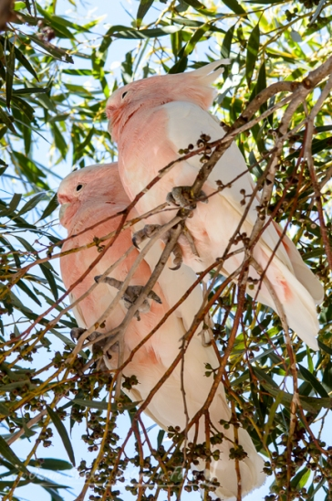 Major Mitchell's cockatoos