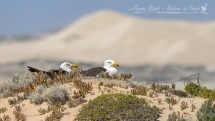 Pacific gulls nesting