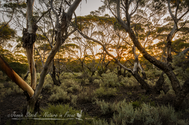 Sunset through the eucalypts at Madura
