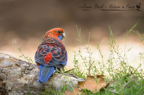 Crimson Rosella in the Australian Botanic Gardens