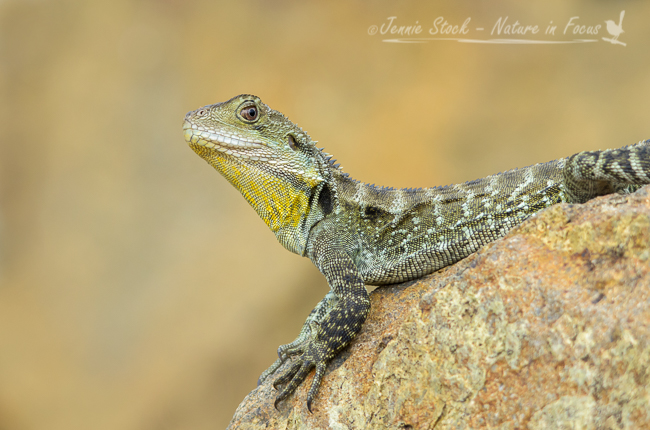 Australian Water Dragon posing beautifully