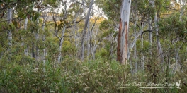 Eucalypt forest at Sawpit Creek campground