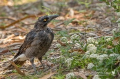 Scruffy young Currawong