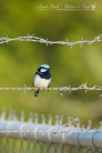 Superb Fairy-Wren on barbed wire fence