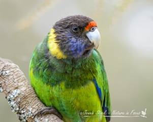 Cheeky Australian Ringneck hoping for a handout at Donnelly River