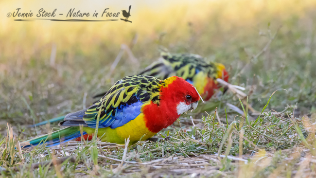 Eastern Rosellas feeding in the grass
