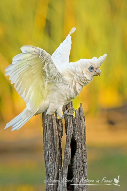 A Little Corella balancing comically before its evening drink