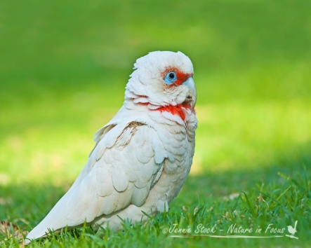A very serious Long-Billed Corella, an Eastern states species that has become established in Perth