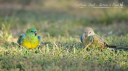 Red-rumped Parrot Pair - male on the left