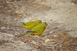 Rock Parrrot pair on Rottnest Island
