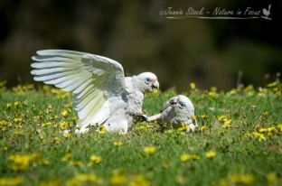 Squabbling Little Corellas, a common site in parks in Perth