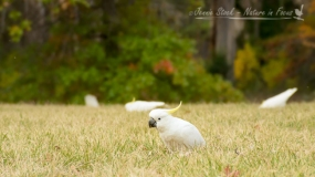 Sulphur-Crested Cockatoos feeding on the ground in Canberra