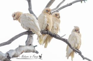 Western Corellas on the side of the road in the Wheatbelt region