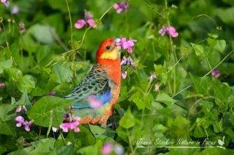 Western Rosella snacking on weedy flowers at Donnelly River in south-west WA