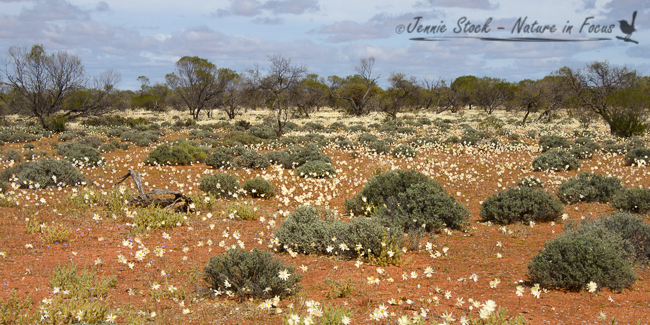 Outback wild flower carpet