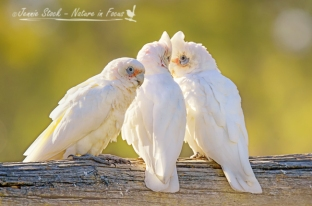 Little corella group©Jennie Stock – Nature in focus