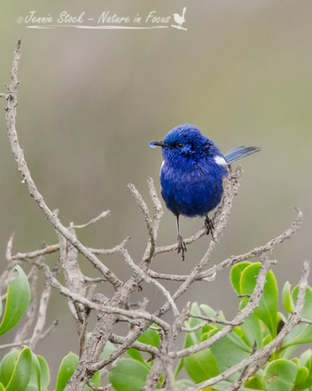 White-winged Fairy-wren male in breeding plumage, with a blue petal as a courtship offering