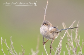 The very scruffy-looking White-Winged Fairy-wren male just starting to show some of his nuptial plumage