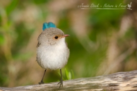 Female Splendid Fairy-wren at Lake Joondalup