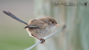 The very unexciting female White-Winged Fairy-wren at Burns Beach