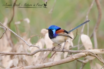 Variegated Fairy-wren male in breeding plumage at Lake Joondalup