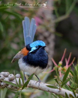 Breeding plumage of a male Red-winged Fairy-wren at Donnelly River village
