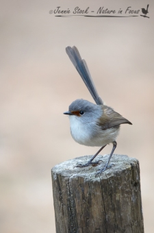 Female Red-winged Fairy-wren showing her black bill and chestnut lores