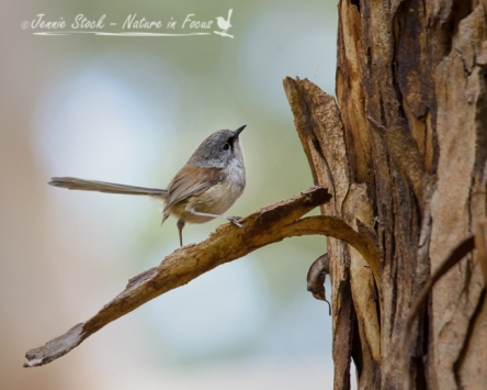 Male eclipse Red-winged Fairy-wren on the bark of a eucalypt at Pemberton
