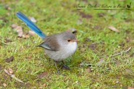Female Splendid Fairy-wren with her pale tan eye-ring, lores and beak