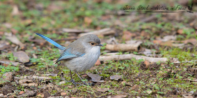 A male Splendid Fairy-wren, probably a young bird given the black bill with the tan eye-ring