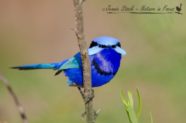Breeding male Splendid Fairy-wren showing the face fan display