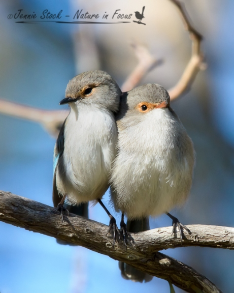 Two wrens cudding - young male and female Splendid Fairy-wrens