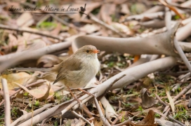 Female Superb Fairy-wren in the leaf litter