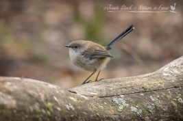 Eclipse male Superb Fairy-wren in Tidbinbilla