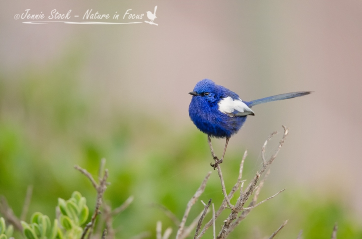 White-winged fairy-wren in breeding plumage