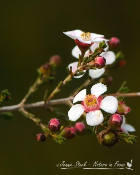 Baeckea grandiflora or Large-flowered Baeckea, near Mullewa