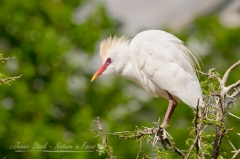 Cattle Egret balancing on a thorn tree at the breeding colony in Montagu