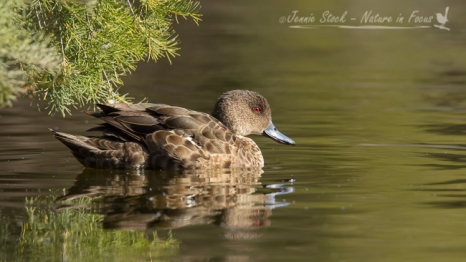 Bashful Grey Teal at Herdsman Lake, Perth