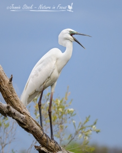Great Egret in breeding colours at Herdsman Lake, Perth