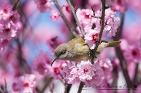 Brown Honeyeater on spring blossom