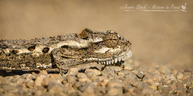Dwarf chameleon on the road in West Coast National Park