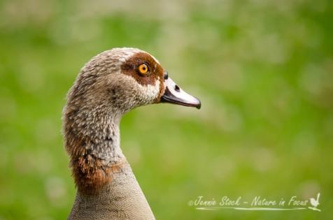 Egyptian Goose portrait - seen at Kirstenbosch