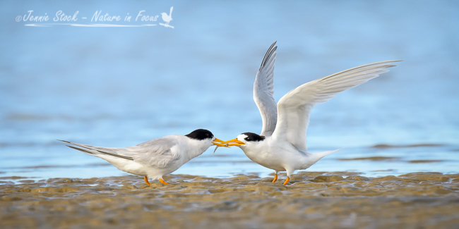 Fairy Tern courtship behaviour at Nairns near Mandurah