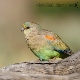 A very sweet female Mulga Parrot, in Coalseam Conservation Park, a few hours north of Perth
