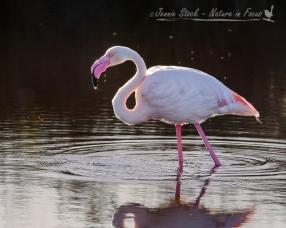 greater-flamingojennie-stock-nature-in-focus
