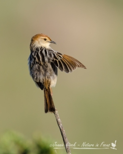 Grooming Cisticola at West Coast National Park