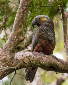 The handsome Kaka - a forest parrot - on Ulva Island