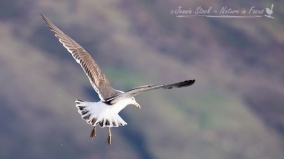 Kelp Gull or Karoro, hovering over Lake Wanaka