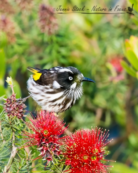 New Holland Honeyeater feeding