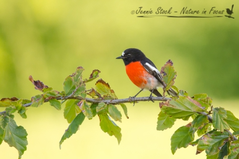A gorgeous male Scarlet Robin posing in Bridgetown, WA